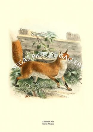 Common Fox, Canis Vulpes